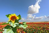 foto of buttercup  - The huge picturesque sunflower grows in a field among multi - JPG