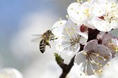 stock photo of working animal  - Honey bee enjoying peach blossom on a lovely spring day - JPG