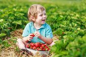 image of strawberry blonde  - Happy little toddler boy on pick a berry farm picking strawberries in bucket outdoors - JPG