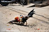 stock photo of fighting-rooster  - Cock fighting in the Mekong delta - JPG