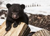 stock photo of bear-cub  - American black bear cub climbing on a wood pile - JPG