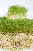 image of alfalfa  - Fresh alfalfa sprouts and cress on white background - JPG