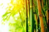 Bamboo. Bamboos Forest. Growing bamboo border design
