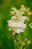 stock photo of meadowsweet  - White meadowsweet flower on a background of green grass - JPG