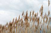 foto of early spring  - Closeup of dry and yellowed Common Reed or Phragmites australis stems and seed heads waving in the wind in the early spring season - JPG