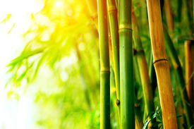 picture of bamboo  - Bamboo - JPG