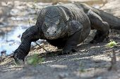 pic of komodo dragon  - Komodo Dragon walking in the wild on Komodo Island - JPG