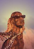 foto of irish  - Beautiful Irish Setter with sunglasses and scarf - JPG