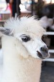foto of alpaca  - White alpaca at the zoo closeup shot - JPG