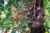 picture of cannonball  - cannonball or couroupita tree with its flowers - JPG