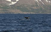 stock photo of whale-tail  - Humpback whale in the Atlantic ocean shows its tail - JPG