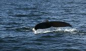 pic of whale-tail  - Humpback whale in the Atlantic ocean shows its tail - JPG