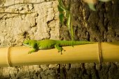 pic of gekko  - Closeup of a green lizard on bamboo