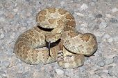 picture of coiled  - Mojave Rattlesnake  - JPG