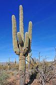stock photo of southwest  - Saguaro cactus and blue sky - JPG