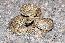 picture of coil  - Mojave Rattlesnake  - JPG