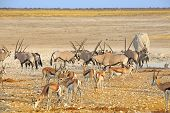 foto of rhino  - Busy waterhole in Etosha with Oryx - JPG