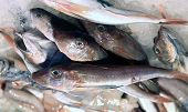 picture of tub  - fresh fish called Tub gurnard for sale in fish market - JPG