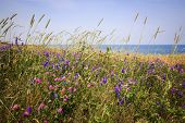 foto of wildflower  - Wildflowers and grasses on Atlantic ocean shore of Prince Edward Island - JPG