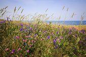 stock photo of atlantic ocean  - Wildflowers and grasses on Atlantic ocean shore of Prince Edward Island - JPG