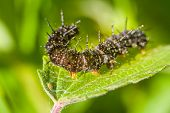 stock photo of green caterpillar  - caterpillars a peacock eye macro on a green nettle - JPG