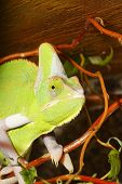 image of chameleon  - Nice green portrait of chameleon with brown background - JPG