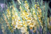 stock photo of gladiolus  - yellow colour of Gladiolus flower in the garden - JPG
