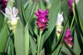 foto of curcuma  - Curcuma alismatifolia Siam tulip or summer tulip in the garden - JPG