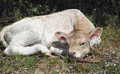 stock photo of calf  - touching cute calf lying on green grass cute baby animals - JPG