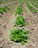 picture of potato-field  - Agricultural field on which has appeared young sprouts of a potato - JPG