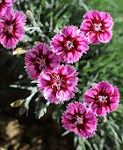 picture of carnation  - Group of boldly striped pink carnation flowers - JPG