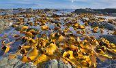 picture of tide  - Kelp Bed at Low Tide  - JPG