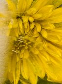 stock photo of fragile  - Frozen fragile abstraction of ice beautiful bright yellow chrysanthemum flower and air bubbles - JPG
