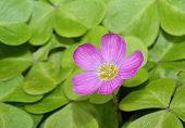 stock photo of redwood forest  - Redwood Sorrel - Oxalis oregana form smalliana Native to moist Douglas-fir and coast redwood forests of western North America - JPG