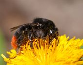 picture of bumble bee  - Macro side view of bumble bee feeding on dandelion flower - JPG