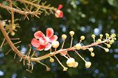 picture of cannonball-flower  - A beautiful cannon ball flower  - JPG