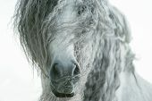 picture of horse face  - andalusian horse face closeup with long curvy forelock and mane - JPG