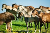 picture of herd horses  - The akhal - JPG