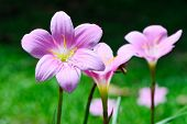 image of lily  - Zephyranthes Lily Rain Lily Fairy Lily Little Witches on the spring season - JPG