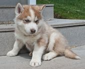 stock photo of puppy eyes  - Very cute red Husky puppy with blue eyes sitting on a set of steps outdoors - JPG