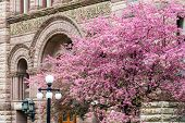 foto of city hall  - Beautiful cherry blossoms tree with pink flowers in spring near a building of Old City Hall Toronto Canada - JPG