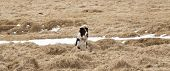 stock photo of herding dog  - Attentive dog watches takes care of the herd - JPG
