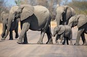 image of tar  - Breeding herd of elephant with small calf cross a tar road - JPG