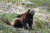 foto of wolverine  - Wolverine sitting in the sun its natural habitat - JPG