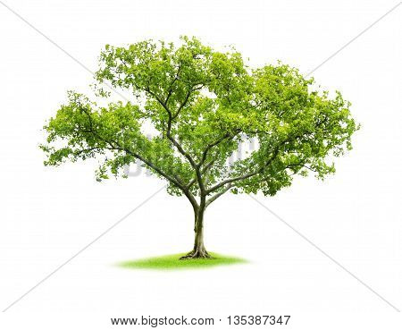 poster of Single tree on white isolate background with clipping path,The nature of tree with clipping path,clipping mask,The single tree with clipping path.