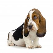 picture of basset hound  - basset hound puppy in front of white background - JPG