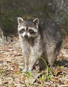 stock photo of rabies  - Raccoon with green and brown grass background - JPG