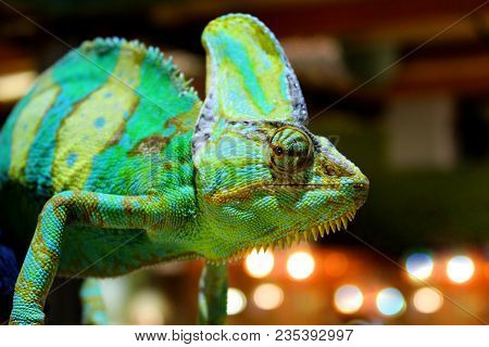 Veiled Chameleon chamaeleo Calyptratus Closeup
