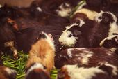 Closeup, Selective Focus On White, Red Brown Guinea Pigs Eating Morning Green Glory Vegetable Pet Fo poster