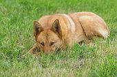 Mixed Breed Red Dog Lying In Spring Grass And Watching poster